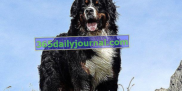 El Bernese Mountain Dog, un bonito perro de compañía tricolor