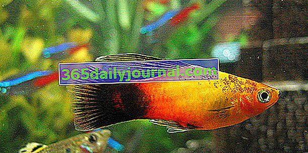 Плати (Xiphophorus maculatus) в аквариум, нашият съвет