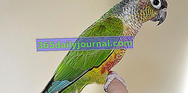 Papagaj Molinae ili Papagaj zelenih obraza: kako uzgajati ovu pticu kod kuće?