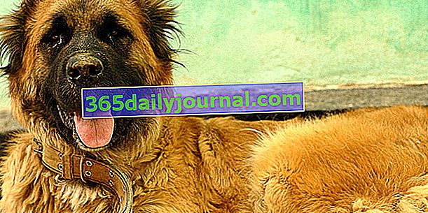 Kavkaski ovčar, veliki rustikalan pas