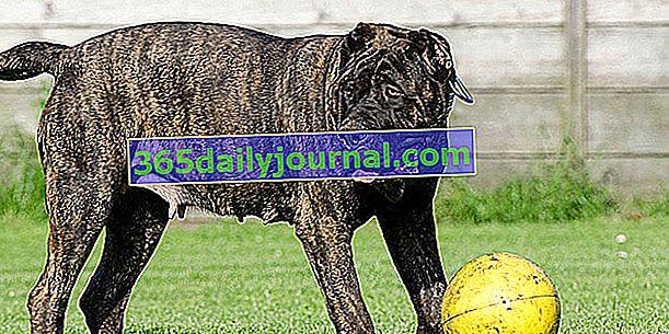 El Dogo Canario o Mastín Canario, un perro de imponente complexión
