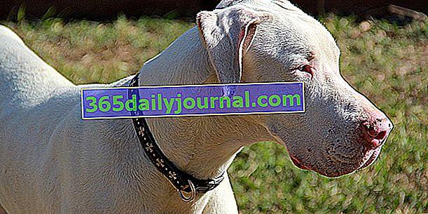 Skręcenie żołądka u psów: objawy, leczenie i zapobieganie