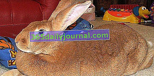 Divovski zec iz Flandrije, najveći od zečeva