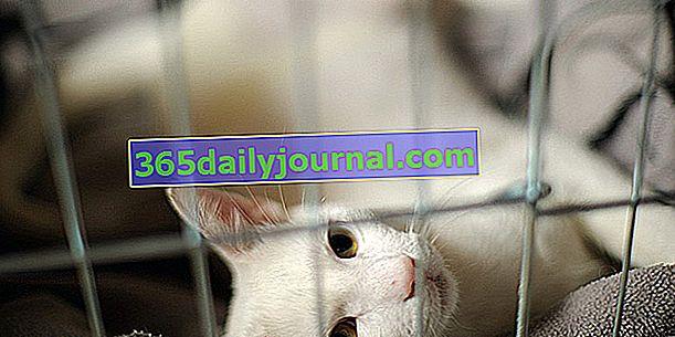 Ringworm u mačaka: simptomi, liječenje i prevencija
