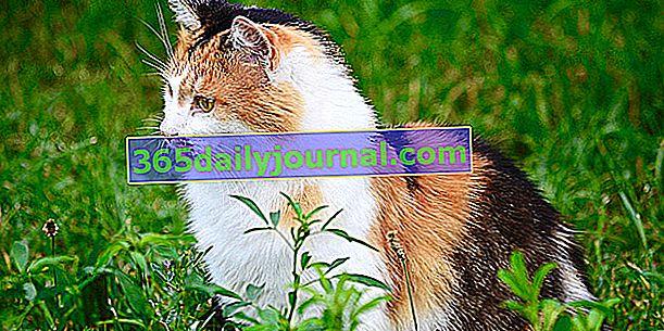 El gato Isabelle: ¿quién es él, qué particularidades?