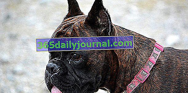 Köpeğin kulaklarını kesmek: tarihsel nedenler artık yasak