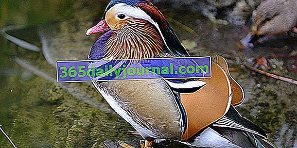 Patos ornamentales, ¿cuáles son las razas más hermosas de palmípedos?