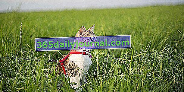 Вигулювати кота на повідку: добра чи погана ідея?
