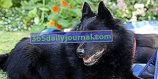 Шипперке, маленька собачка з густою чорною шерстю