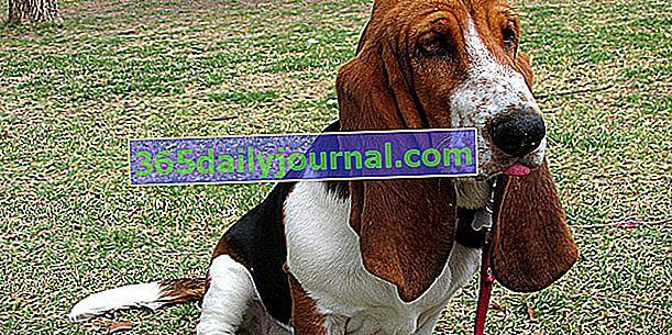El Basset Hound, perro larguirucho y de patas cortas