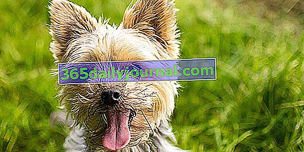 Yorkshire Terrier, żywy i inteligentny piesek