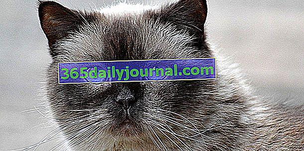 El British Shorthair, majestuoso gato con un cuerpo poderoso