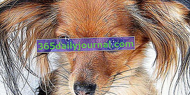 El juguete Russkiy o el perrito ruso