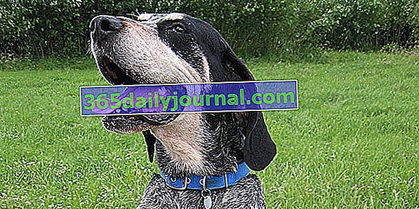 El Grand Bleu de Gascogne, un perro de expresión melancólica