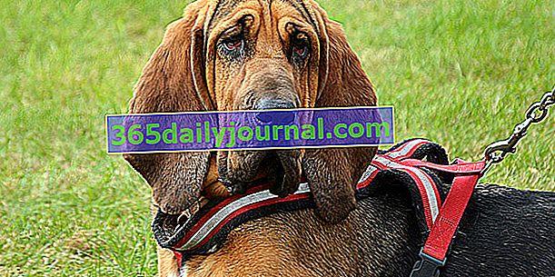 El Chien de Saint-Hubert, un perro de cuerpo macizo
