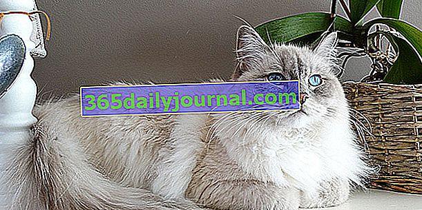 Топ 11 най-тихите породи котки