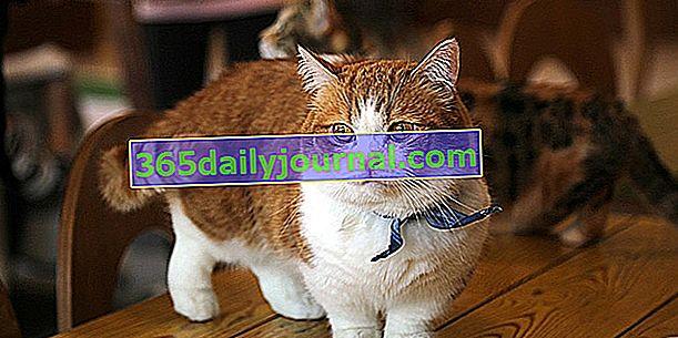 The Munchkin, очарователна малка котка