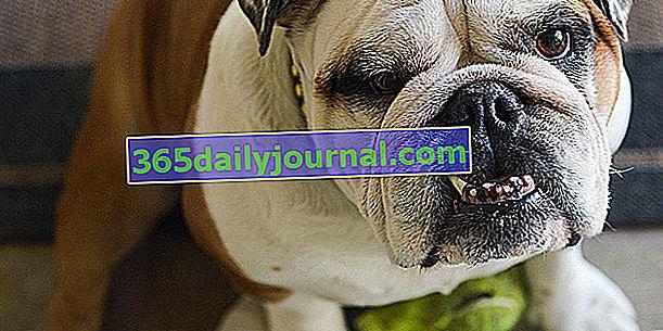¿Cuáles son las consecuencias de la endogamia en los perros?