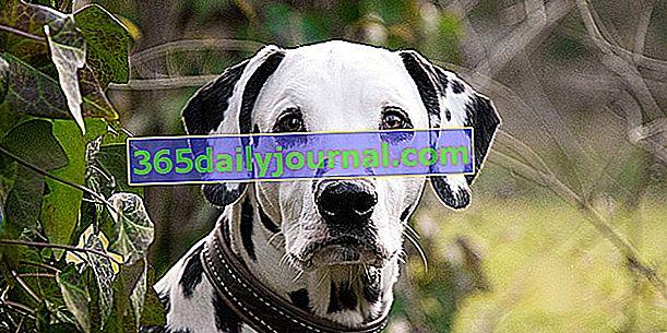 El dálmata, famoso perro blanco con manchas negras