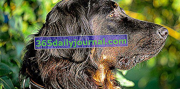 Seter Gordon, pies fizyczny i wytrzymały