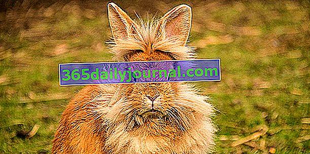 Morče nebo morče a trpasličí králík se budou dobře míchat?