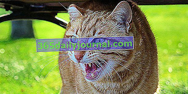 Bojová kočka: co dělat proti agresivitě kočky?