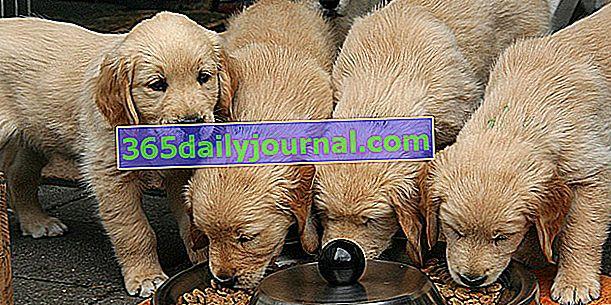 Отлучение щенка от груди: в каком возрасте и как отлучать щенка от груди?