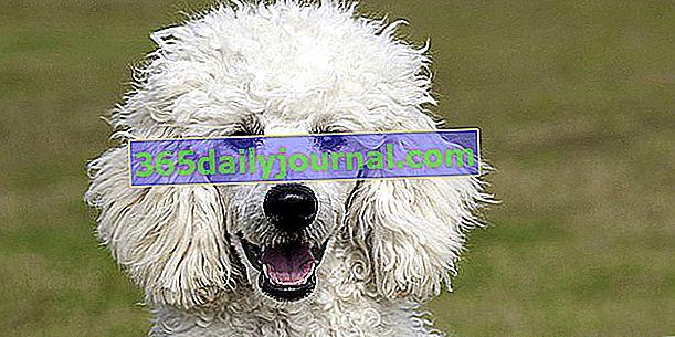 Пудел, кучето с къдрава коса