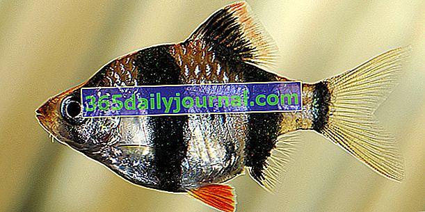 Суматранска колючка (Puntius tetrazona) в аквариум, нашият съвет