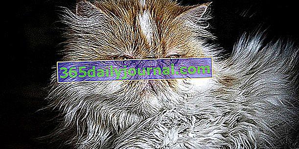 Персийската котка, превъзходен спътник за цялото семейство