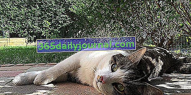 Czy kot może cierpieć na upał? Jak to chronić?