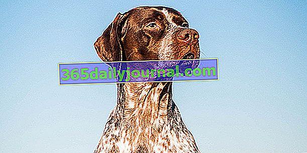 Френският Braque, перфектното посочващо куче