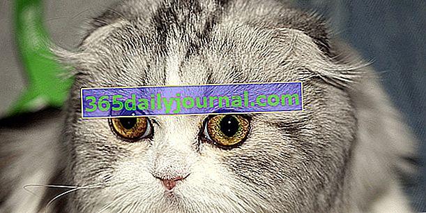 Highland fold, котка със сгънати напред уши