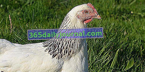 La Poule Sussex, kura w czarnej herminée białej sukni