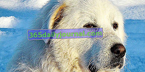 Patou ali pirenejski gorski pes, ki ščiti pred volkovi