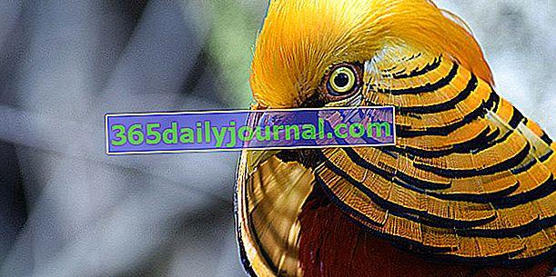 El faisán dorado, ave ornamental con brillantes colores rojo y dorado
