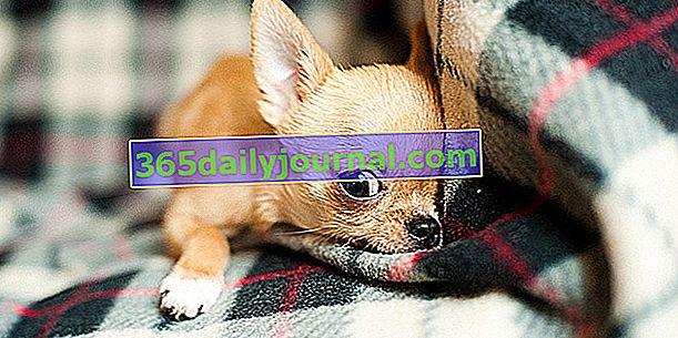 10 razas de perros pequeños que vivirán felices en la ciudad o en un apartamento
