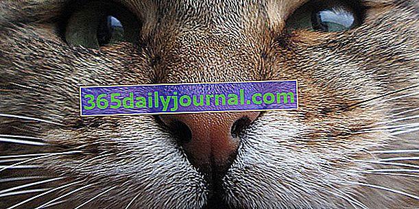 Kočičí vzteklina: příčiny, příznaky, léčba a prevence