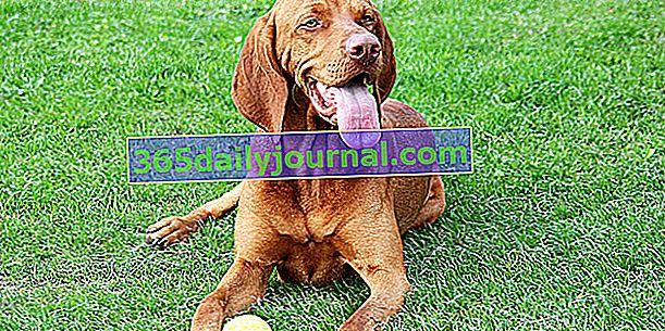 El Braco Húngaro, un perro de aspecto distinguido.