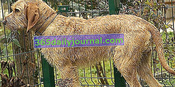 Griffon Fauve de Bretagne, pies o rustykalnym wyglądzie