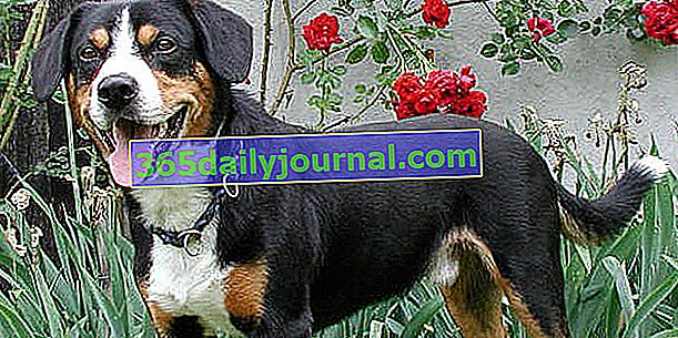 Bouvier de l'Enlebuch, най-малкото швейцарско планинско куче