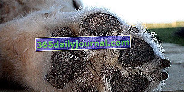 Almohadillas para perros: papel, ¿cómo cuidarlas?
