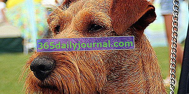 El Irish Terrier, perro de cuerpo musculoso y picante
