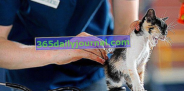 Coryza u koček: popis, příznaky, léčba a prevence