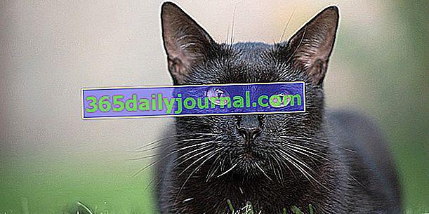 Zašto crne mačke donose peh?