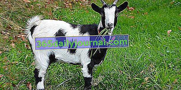 Jak chovat kozu? Chovné rady