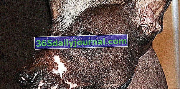 Peruwiański bezwłosy pies, pies o szczególnej budowie ciała
