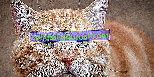 Cukrzyca u kotów: przyczyny, objawy i zapobieganie