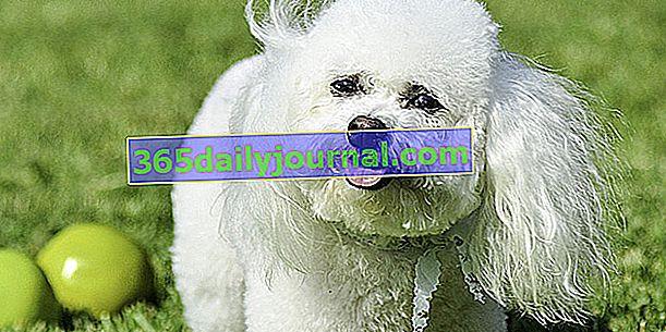 Bišonek, bílý pes, jemný a učenlivý