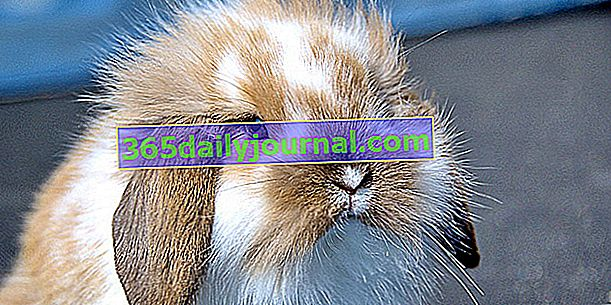 Hlavní nemoci králíka